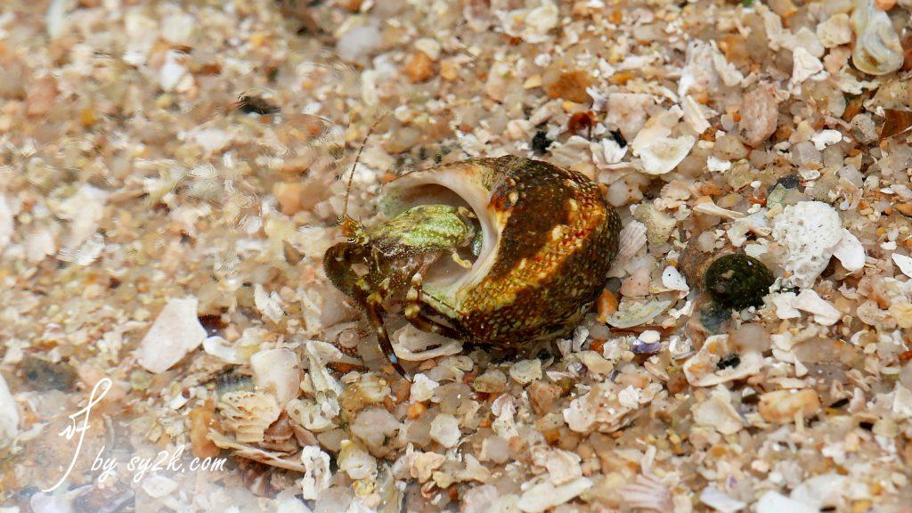 长洲岛 寄居蟹
