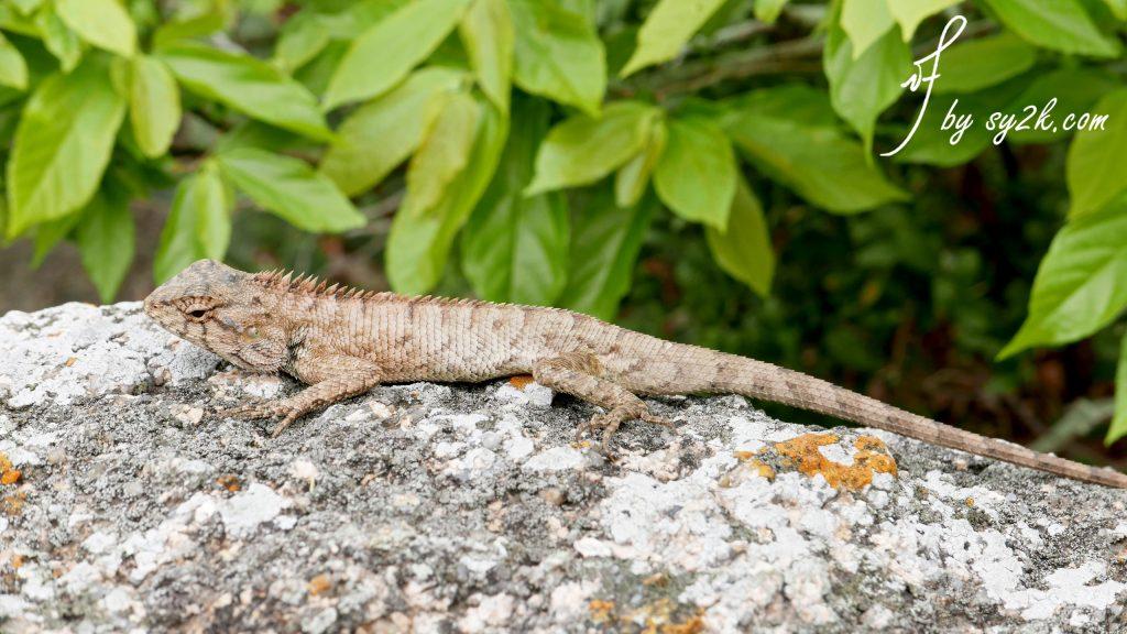 长洲岛 蜥蜴